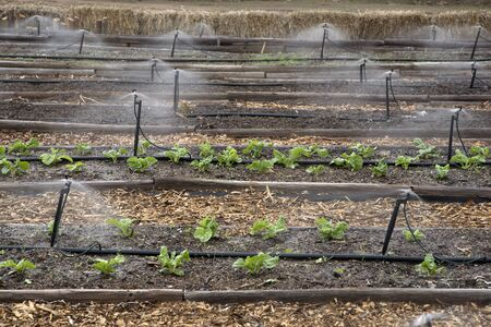 irrigating: Irrigating spinach growing in seed beds in Southern Africa Stock Photo