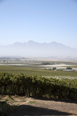 sheeting: RIEBEEK KASTEEL SWARTLAND SOUTHERN AFRICA - APRIL 2016 - Vines growing and protected by plastic sheeting at Riebeek Kasteel in the Swartland region of South Africa