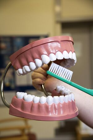 dentalcare: Large demonstration model of teeth and a toothbrush