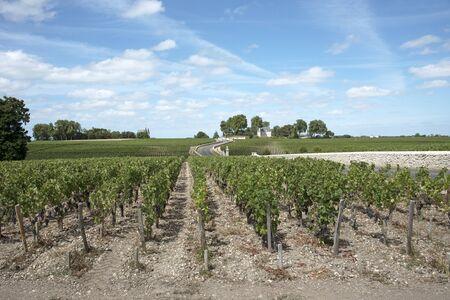 bordeaux region: Pauillac wine region France - August 2016 - Vines and vineyards in Pauillac a wine producing area of the Bordeaux region France Stock Photo