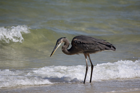 Great Blue Heron Pensacola Florida USA-October 2016-Heron searching for food on a beach along the Gulf Coast Stock Photo