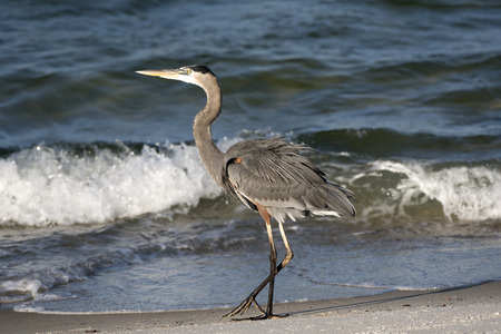 Great Blue Heron Pensacola Florida USA-October 2016- Stock Photo