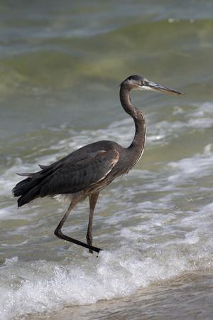 pensacola beach: Great Blue Heron Pensacola Florida USA-October 2016-Heron searching for food on a beach along the Gulf Coast Stock Photo