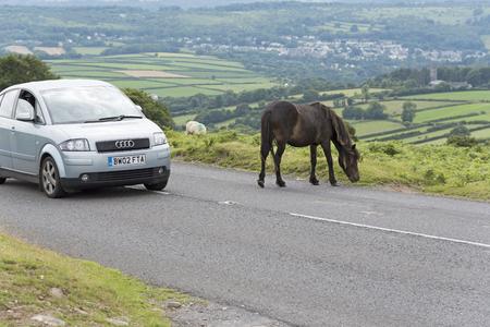 Car passing a Dartmoor wild pony in the National Park. Devon England UK