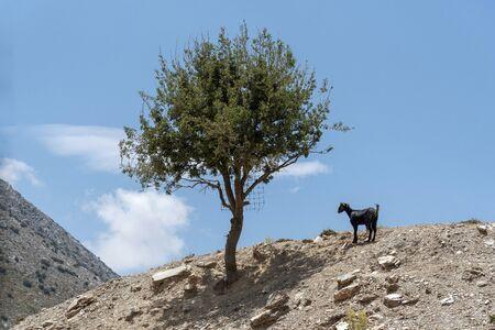 Crete, Greece. June 2019. A Cretan mountain goat standing alone by a tree on a mountaintop. Banco de Imagens