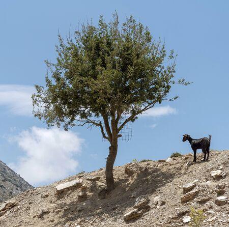Kreta, Griechenland. Juni 2019. Eine kretische Bergziege, die allein von einem Baum auf einem Berggipfel steht. Standard-Bild