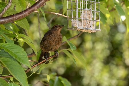 A young Blackbird sat in a Flowering Cherry tree. Archivio Fotografico