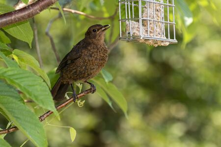Hampshire, England, UK. May 2020.  A young Blackbird sat in a Flowering Cherry tree. Archivio Fotografico