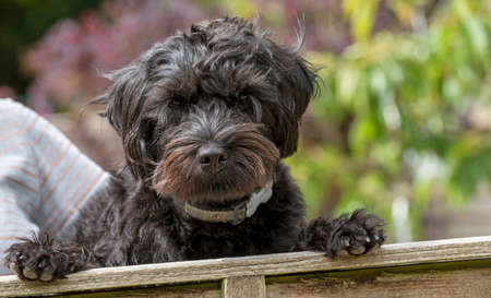 Hampshire, England, UK. August 2020. Portrait of a black borderpoo dog. A cross between a Border Terrier and a Poodle looking over a garden fence.