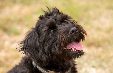 Hampshire, England, UK. August 2020. Portrait of a black borderpoo dog. A cross between a Border Terrier and a Poodle