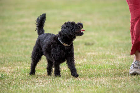 Hampshire, England, UK. August 2020. Portrait of a black borderpoo dog be during a training session with owner. A cross between a Border Terrier and a Poodle