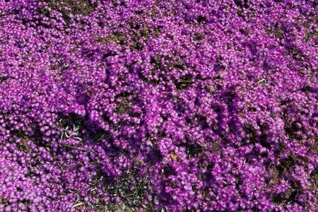 blanket of purple flowers on a sunny day