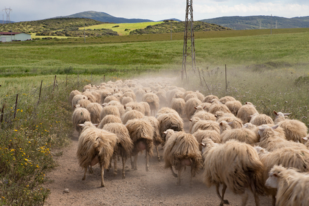 a flock  of sheep running on a road to their meadow