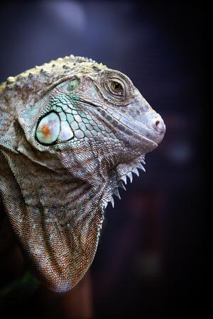 iguana lizard Stock Photo