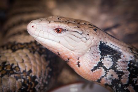 lizards face