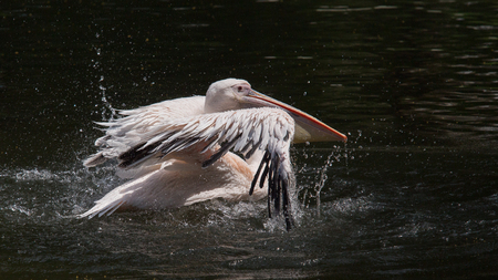 pelican lands on the water surface