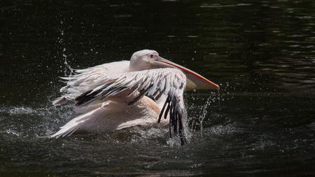 pelikaan landt op het wateroppervlak