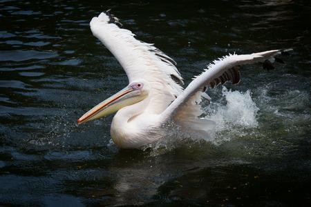 pelikaan spreidt zijn vleugels
