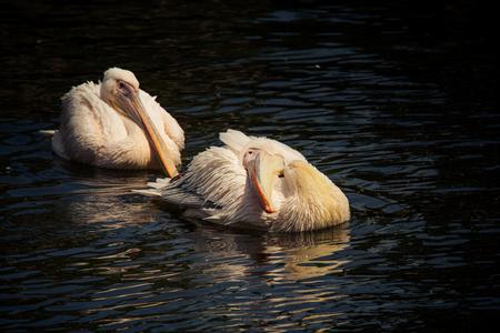 pelikanen die elkaar achterna zitten Stockfoto
