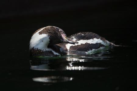 pinguin zwemmen
