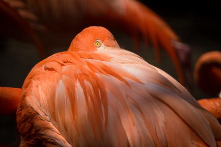 rode flamingo Stockfoto
