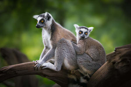 ring-tailed lemur and child