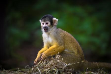 eekhoorn aap schreeuwen