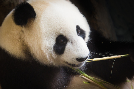 gigantische panda eet bamboe Stockfoto