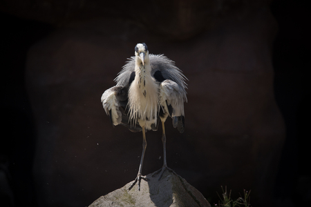 blue heron shaking his feathers, standing on a rock