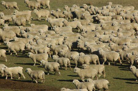 land use: pecore in una fattoria in Marlborough, Isola del Sud, Nuova Zelanda Archivio Fotografico