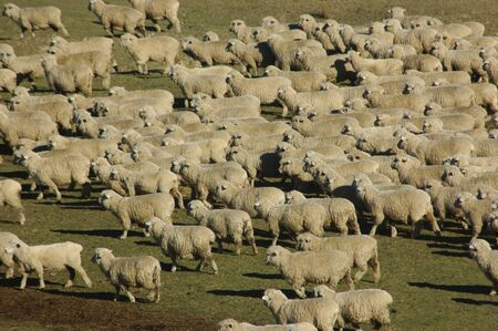 sheep on a farm in Marlborough, South Island, New Zealand photo