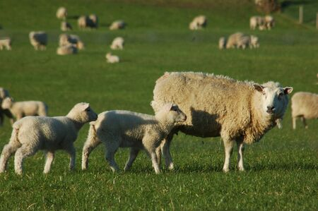 mobs: Spring time photo of a mob of sheep on a farm in Canterbury, South Island, New Zealand