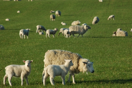 Spring time photo of a mob of sheep on a farm in Canterbury, South Island, New Zealand photo