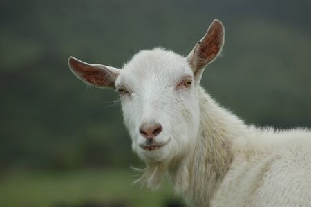 landuse: White goat, Capra hircus, on a West Coast farm, South Island, New Zealand