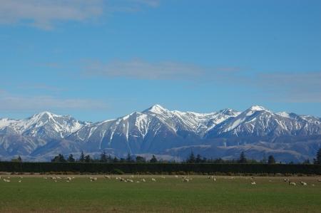 canterbury: Alpes du Sud et les moutons, Canterbury, Nouvelle-Z�lande