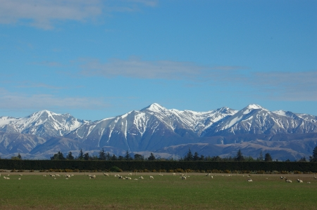 plains: Southern Alps and sheep, Canterbury, New Zealand