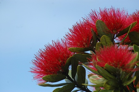 floriculture: red fluffy flowers of the Puhutakawa tree; Metrosideros excelsa, New Zealand