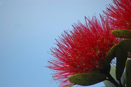 wilds: red fluffy flowers of the Puhutakawa tree; Metrosideros excelsa, New Zealand