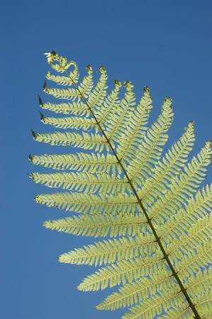 backlighting: backlighting on fern leaves, a New Zealand icon