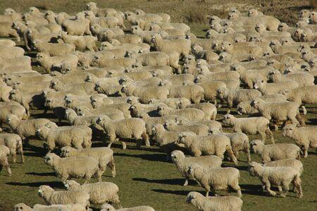 land use: folla di pecore in una fattoria a Marlborough, Isola del Sud, Nuova Zelanda