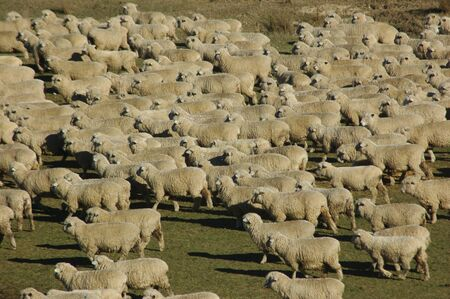 landuse: mob of sheep on a farm in Marlborough, South Island, New Zealand Stock Photo
