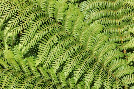 silver fern: background of silver fern fronds