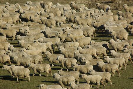 mobs: mob of sheep on a farm in Marlborough, South Island, New Zealand Stock Photo