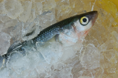 Grey Mullet, Mugil cephalus, on ice, West Coast, South Island, New Zealand Stock Photo - 15017867