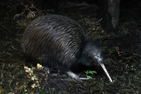 australasia: North Island brown kiwi, Apteryx australis, New Zealand