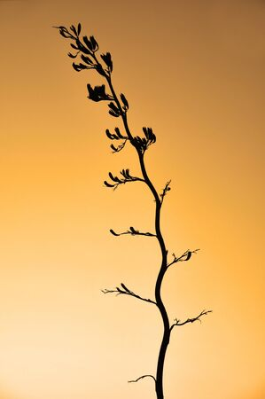 new zealand flax: Flower stalk of Harakeke, New Zealand flax, Phormium tenax , Westland, New Zealand