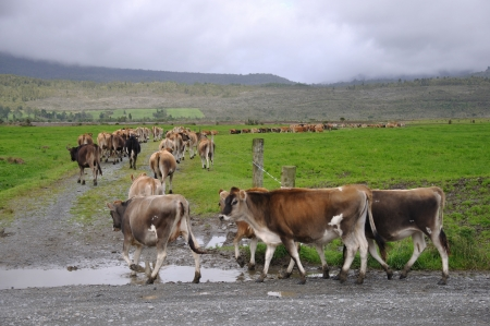 Jersey heifers turn into race towards pasture, Westland, New Zealand Stock Photo - 15007358