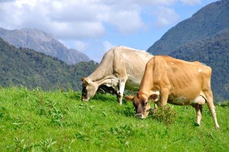 land use: Mucche Jersey sul pascolo, Westland, Nuova Zelanda Archivio Fotografico