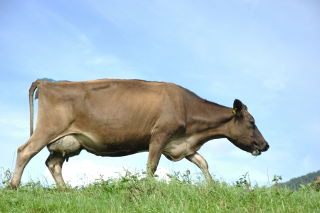 landuse: Jersey cow on pasture, Westland, New Zealand