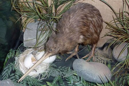 flightless bird: North Island brown kiwi, Apteryx australis, New Zealand